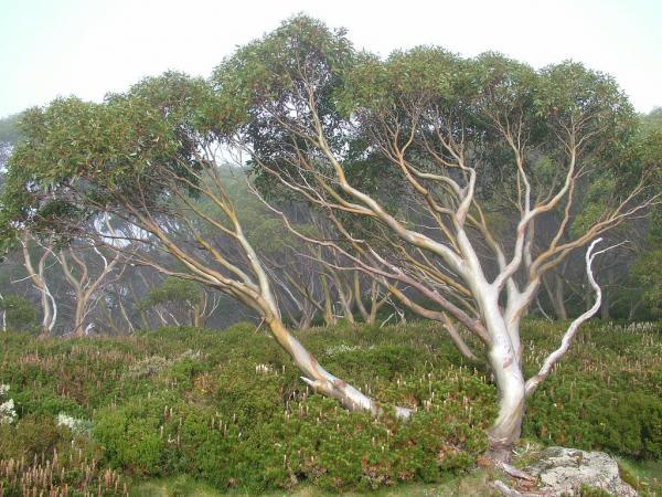 Eucalyptusaren_erabilpenak